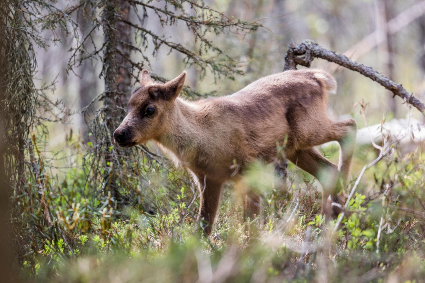 Ailo runs through the forest in Posio, Lapland