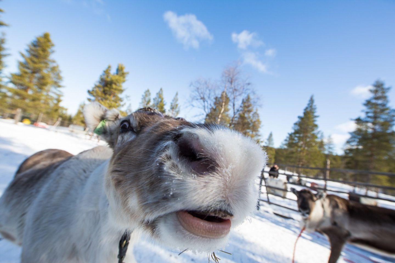 A curious reindeer at a farm in Inari-Saariselkä, Finland