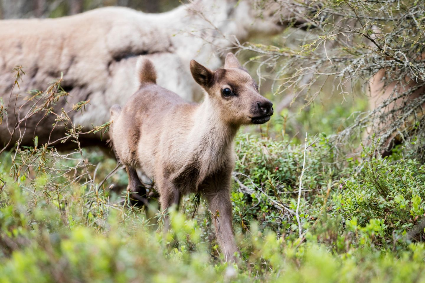 Young reindeer in spring in Lapland