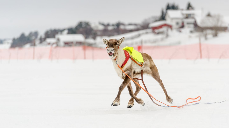 Reindeer race in Lapland, Sata Claus Reindeer