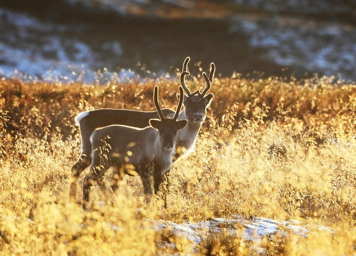 Reindeer on an autumn day in Lapland