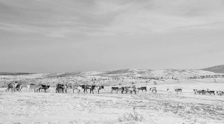 Reindeer in Utsjoki, Lapland