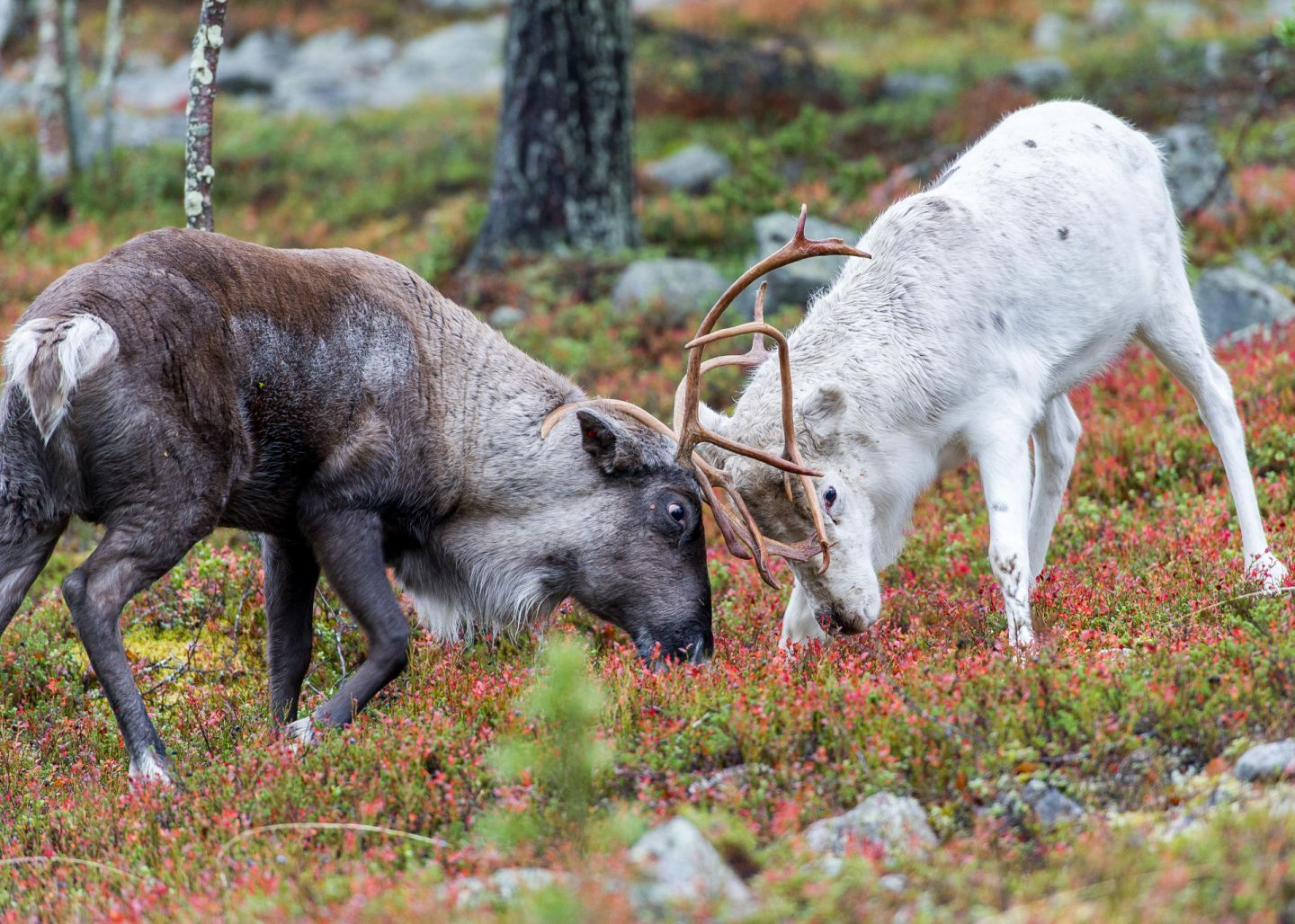 Reindeer facing (antlering) off during rutting season in autumn in Lapland