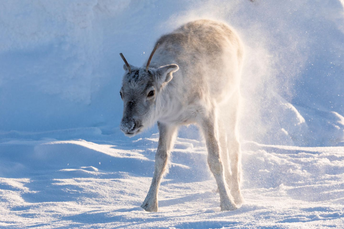 Young reindeer in winter in Lapland, from the filming of Ailo's Journey