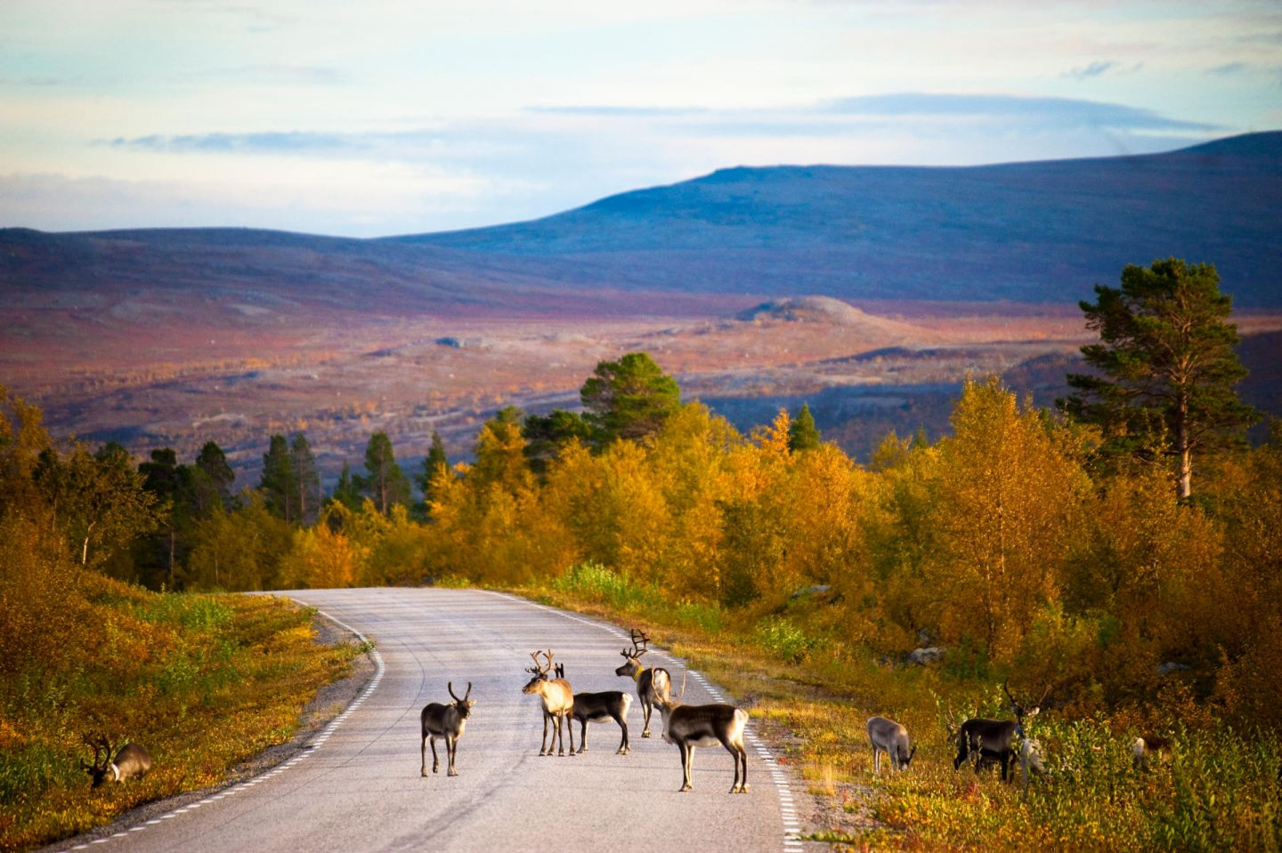 Reindeer on the road in Lapland