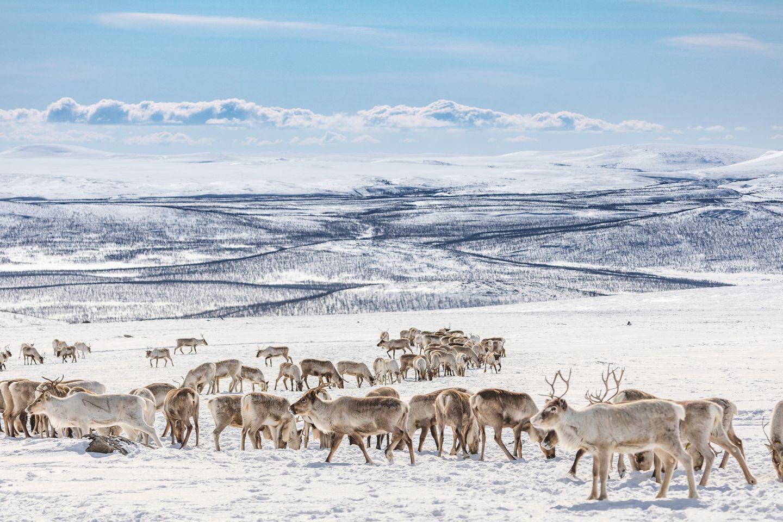 Reindeer in Enontekiö, Lapland, Finland