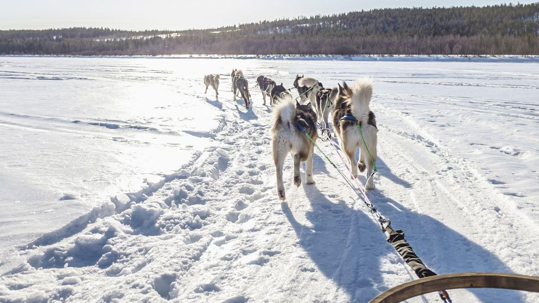 Koiravaljakko jäällä