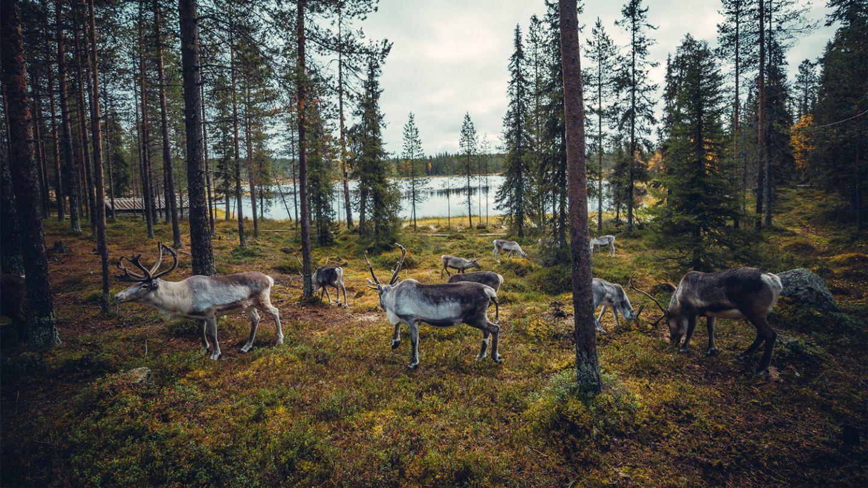 Salla Reindeer Park, remote holiday destination