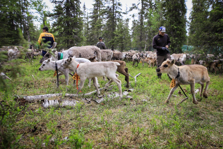 reindeer herding in Ruka, Finland