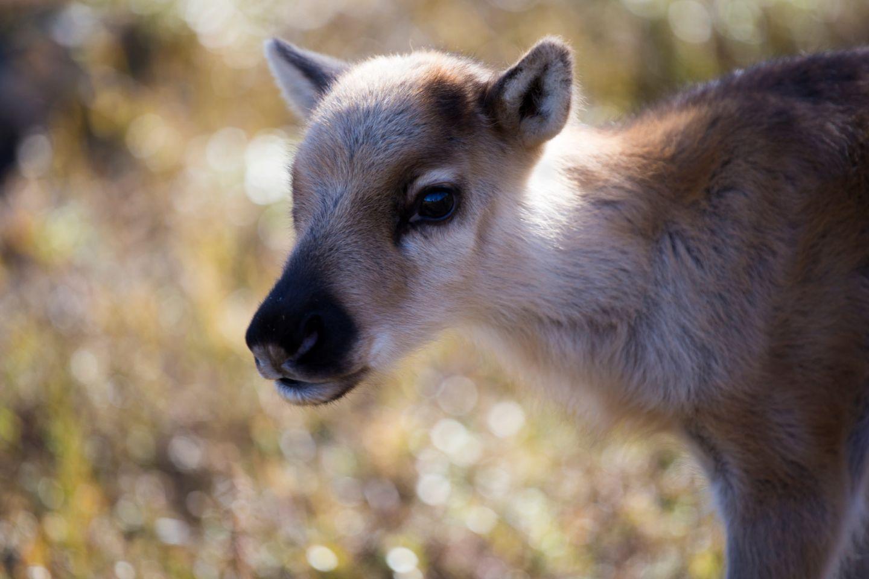 reindeer calf in Lapland