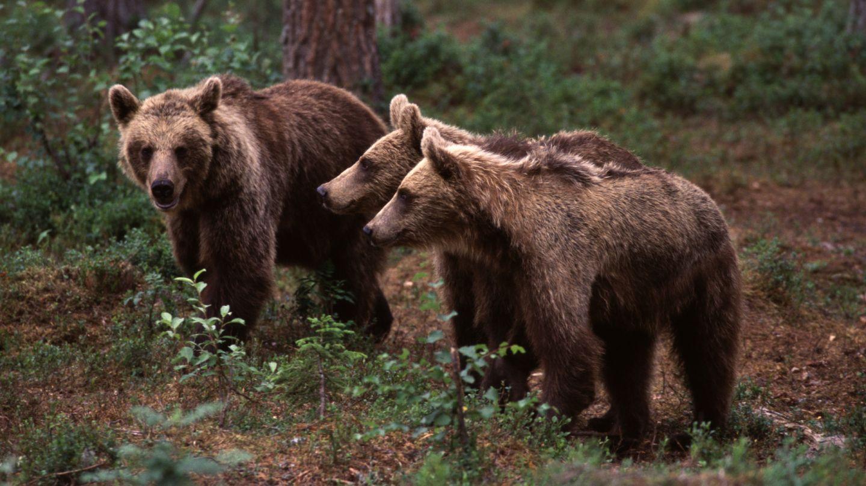 Ruka, bear watching, remote holiday destination