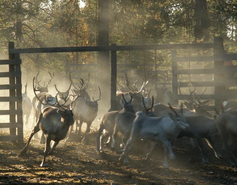 reindeer separation in Pello, Finnish Lapland