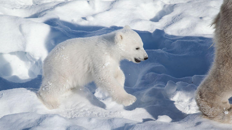 Jääkarhu Ranualla.