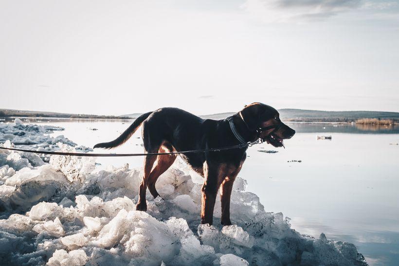 Koira Lainaanrannassa