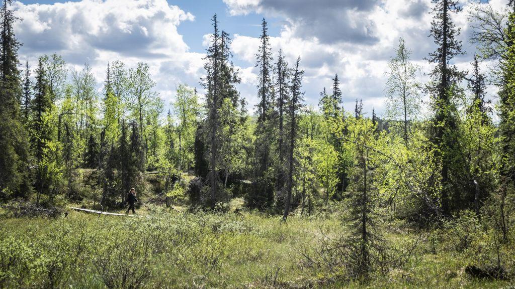 Pitkospuut luontopolulla Tankavaarassa