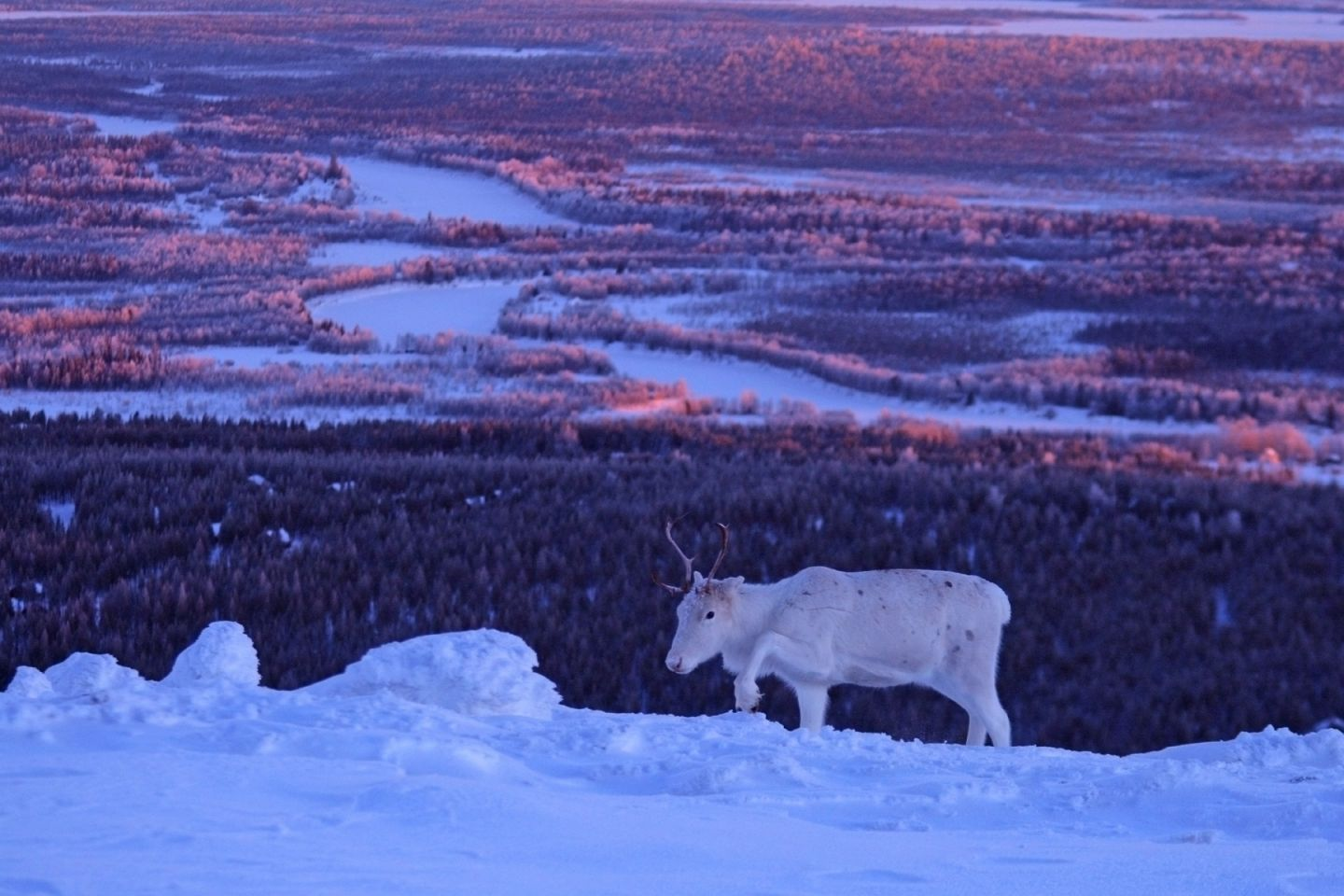 A lonely reindeer atop a Levi fell in Lapland, Finland