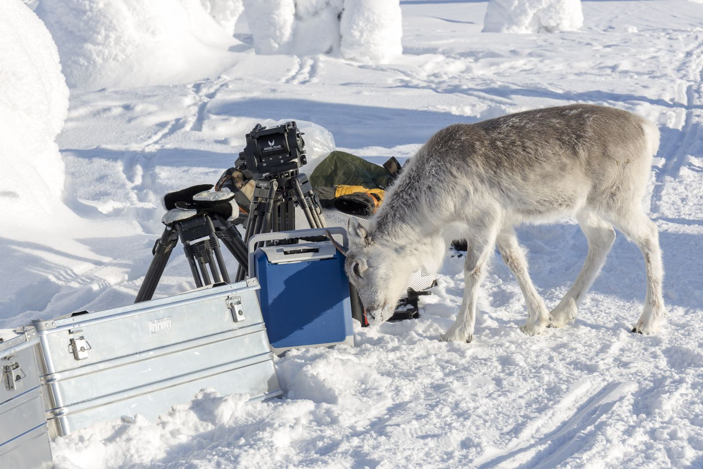Ailo the reindeer is curious about filming in Lapland (or maybe he just wants to rub his antlers against something)