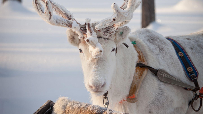 Reindeer, Kardashian Lapland Holiday