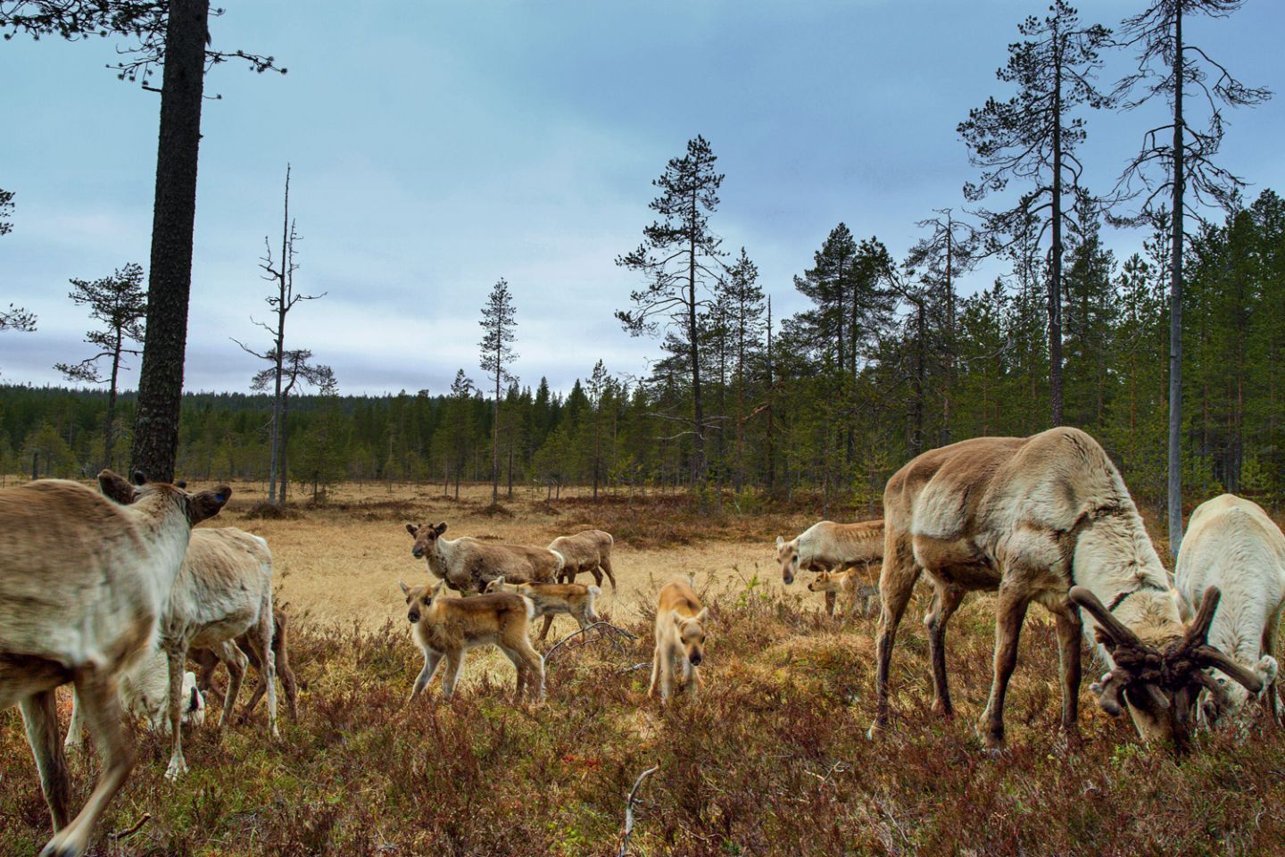 Reindeer in Salla, Sound of Lapland, SCAPES