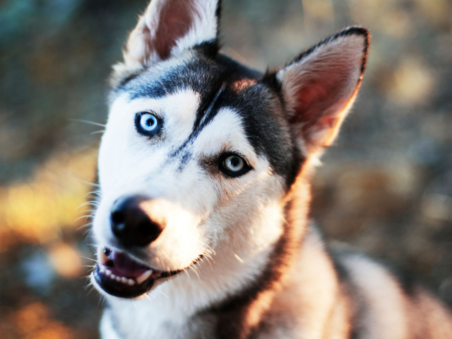 A husky dog hears his favorite sound in Lapland, Finland