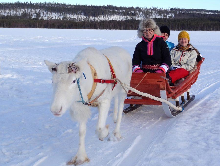 Reindeer in Pello