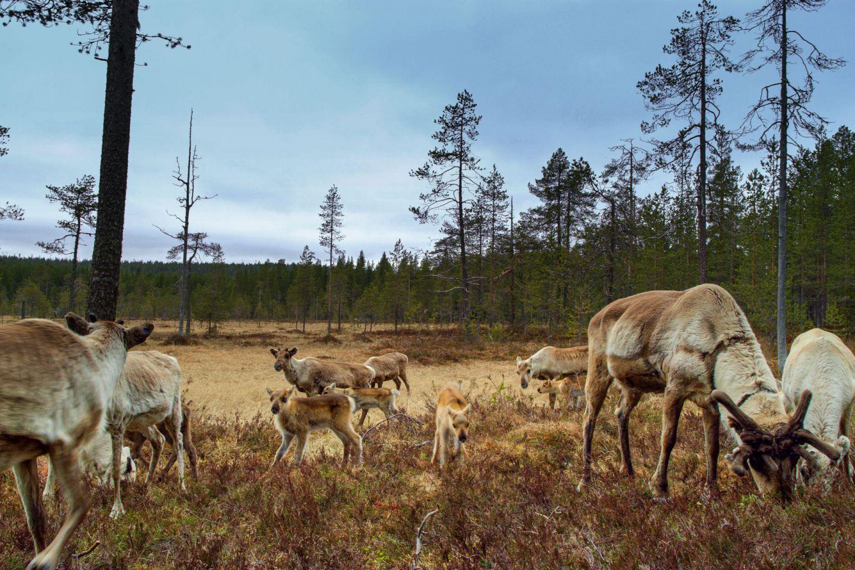 Reindeer in Salla, Finland