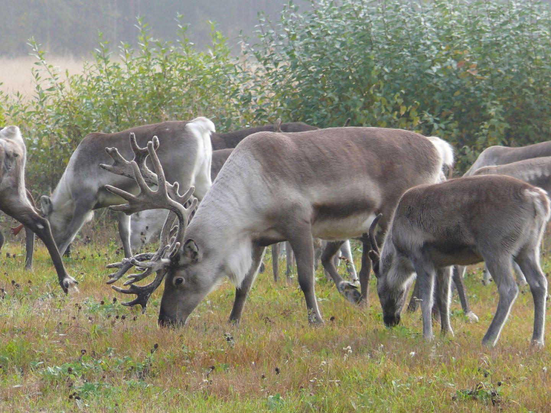 Reindeer in the summer
