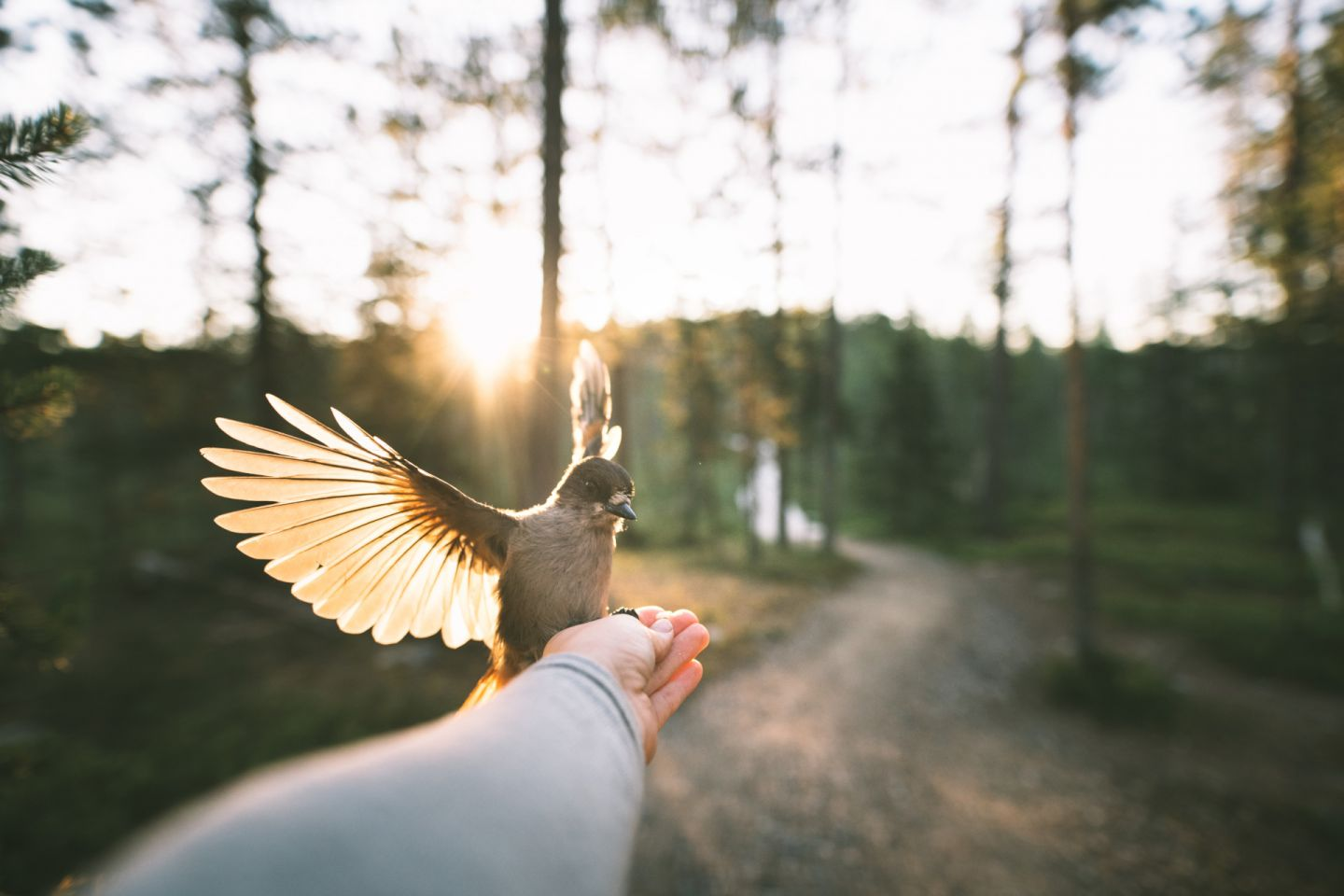 A Siberian jay lands on an outstretched hand in Finnish Lapland