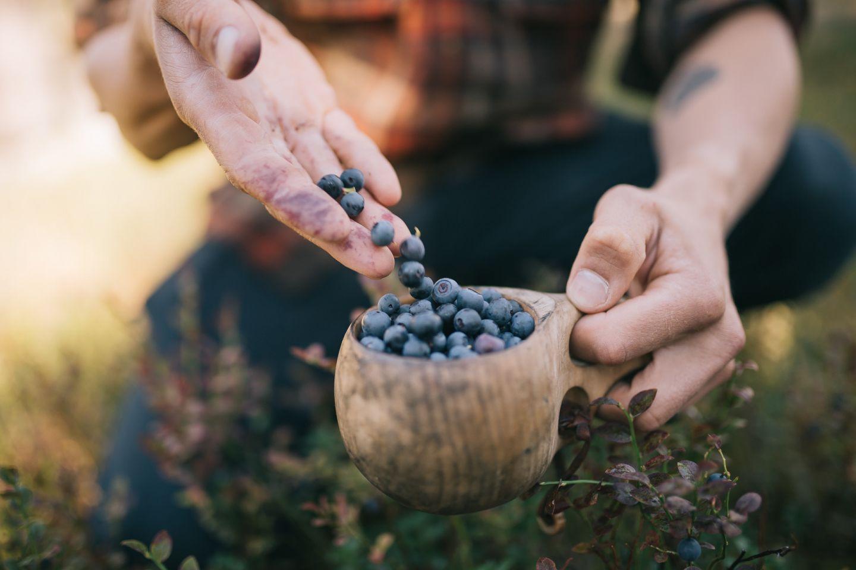 Picking fresh berries in the Finnish Lapland wilderness