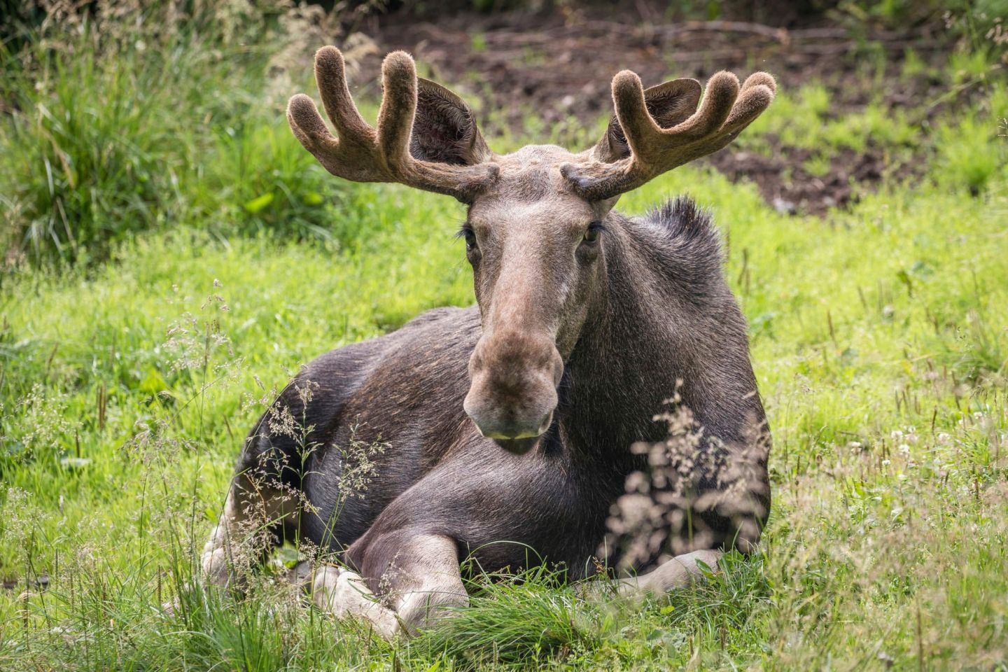 Moose, part of the Arctic wildlife you'll find in Finnish Lapland