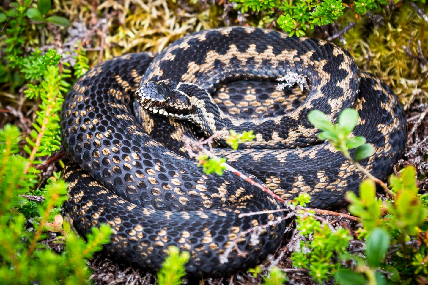 Snakes, part of the Arctic wildlife you'll find in Finnish Lapland