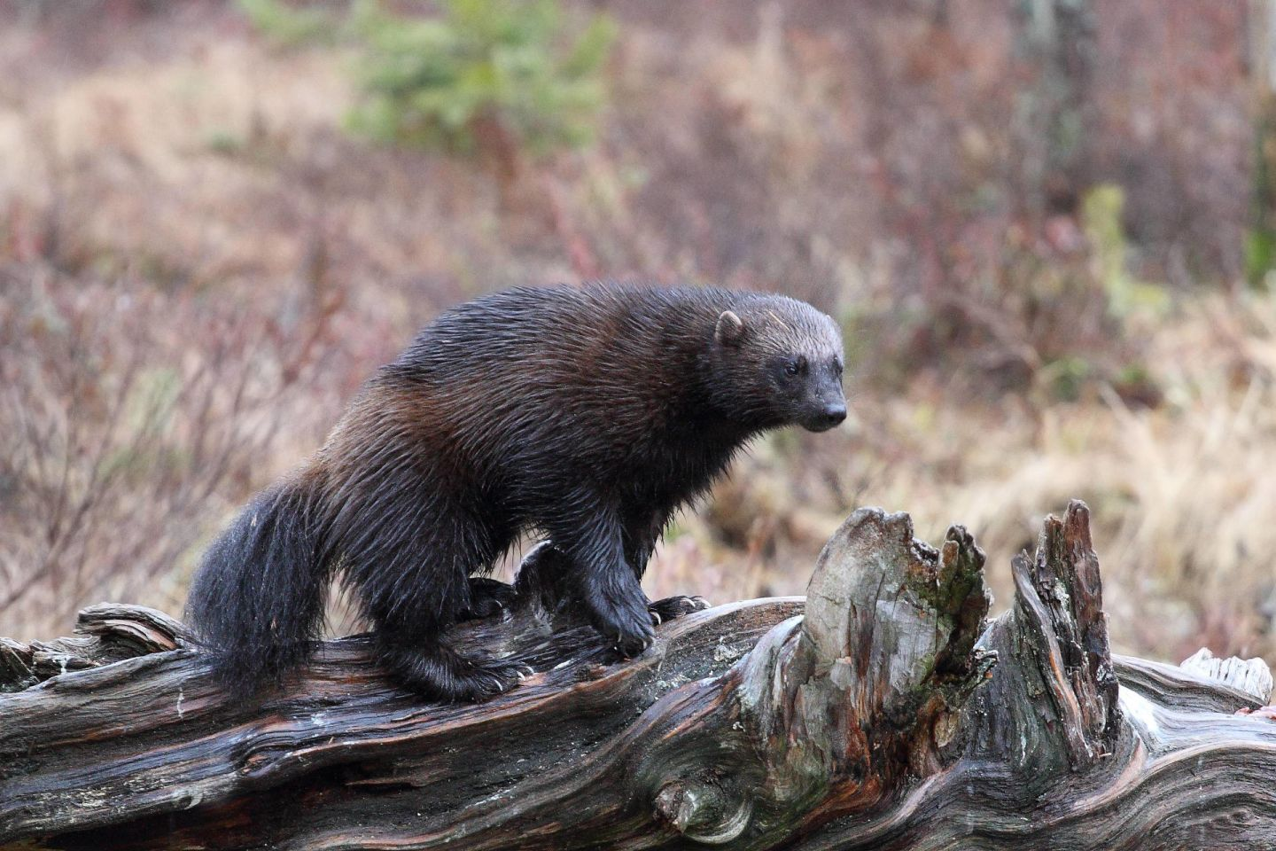 Wolverines, part of the Arctic wildlife you'll find in Finnish Lapland