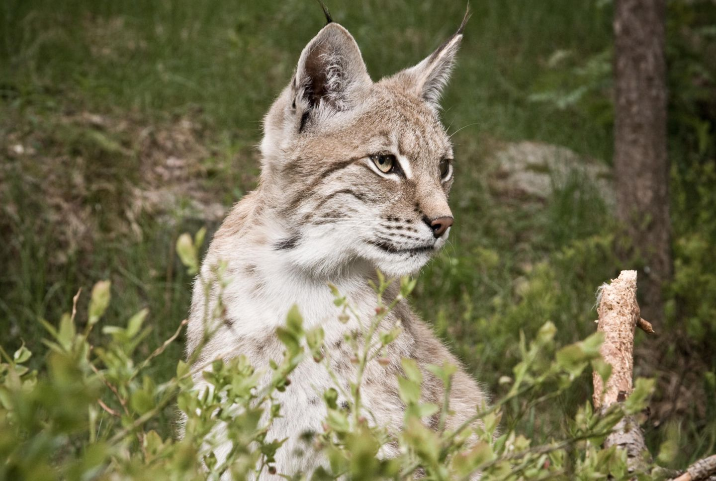 Lynxes, part of the Arctic wildlife you'll find in Finnish Lapland