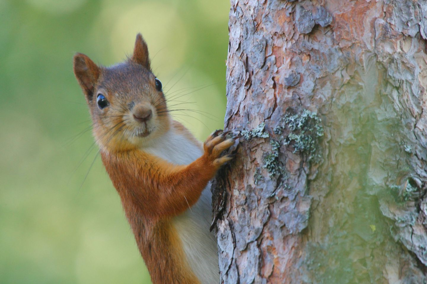 Squirrels, part of the Arctic wildlife you'll find in Finnish Lapland