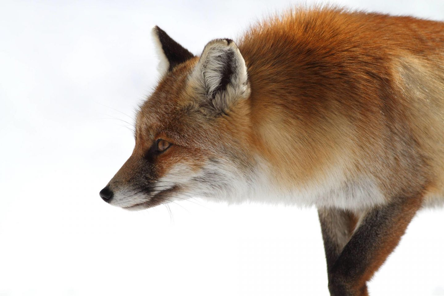 Foxes, part of the Arctic wildlife you'll find in Finnish Lapland
