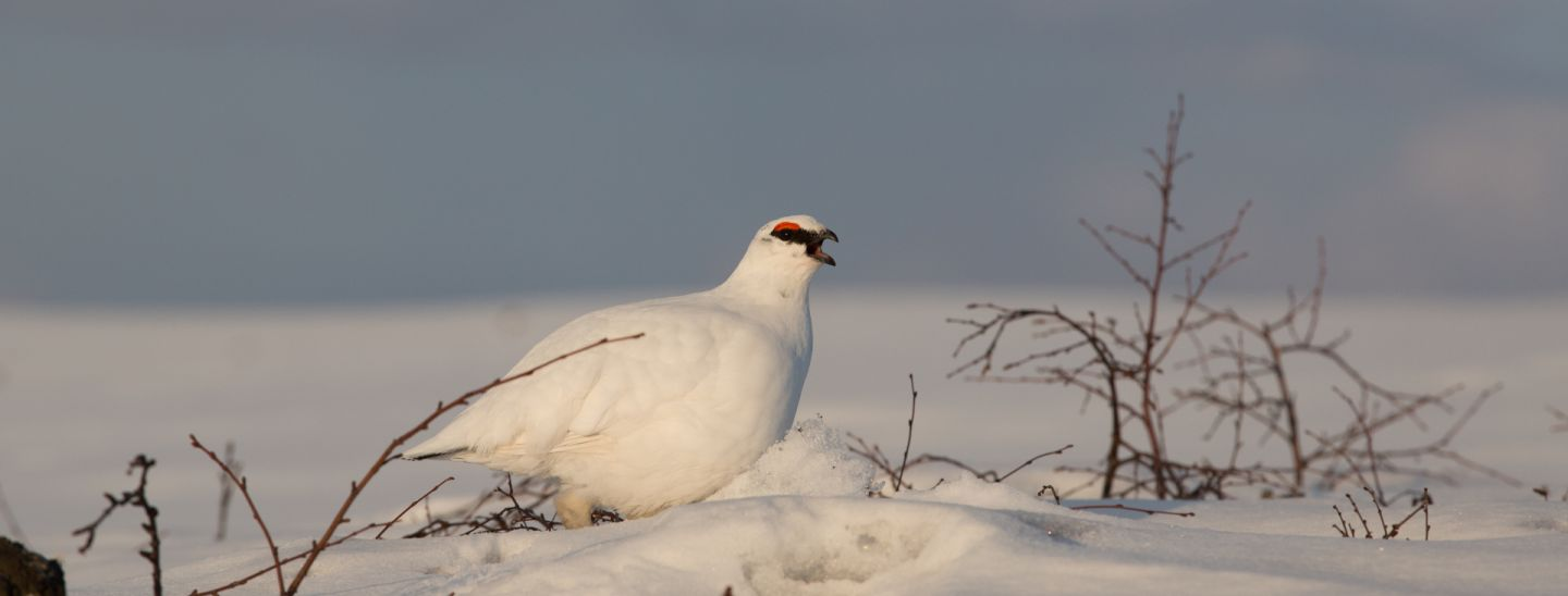 Snow ptarmigans, part of the Arctic wildlife you'll find in Finnish Lapland