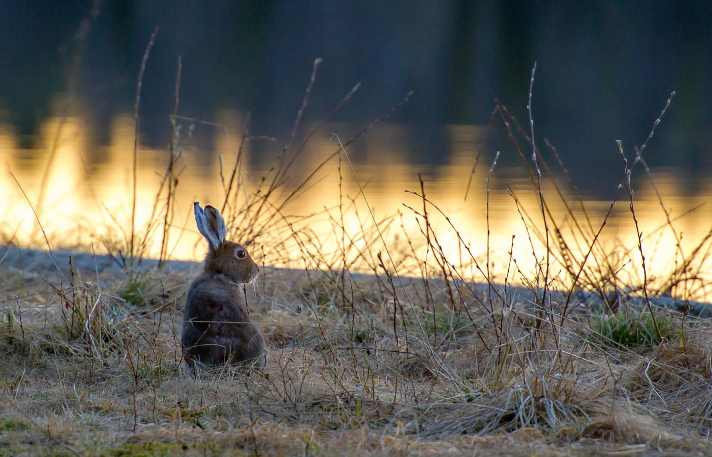 Hares, part of the Arctic wildlife you'll find in Finnish Lapland