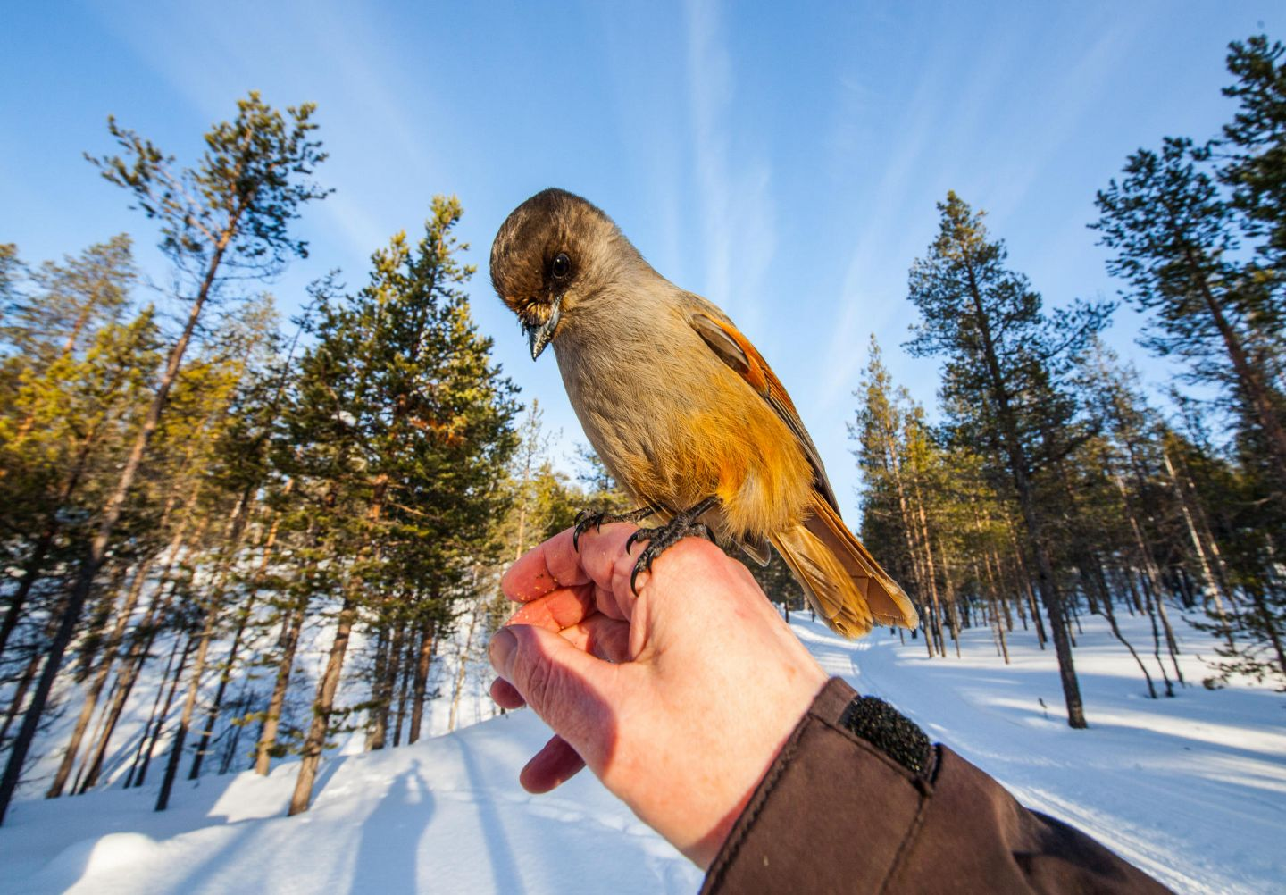 Siberian jays, part of the Arctic wildlife you'll find in Finnish Lapland