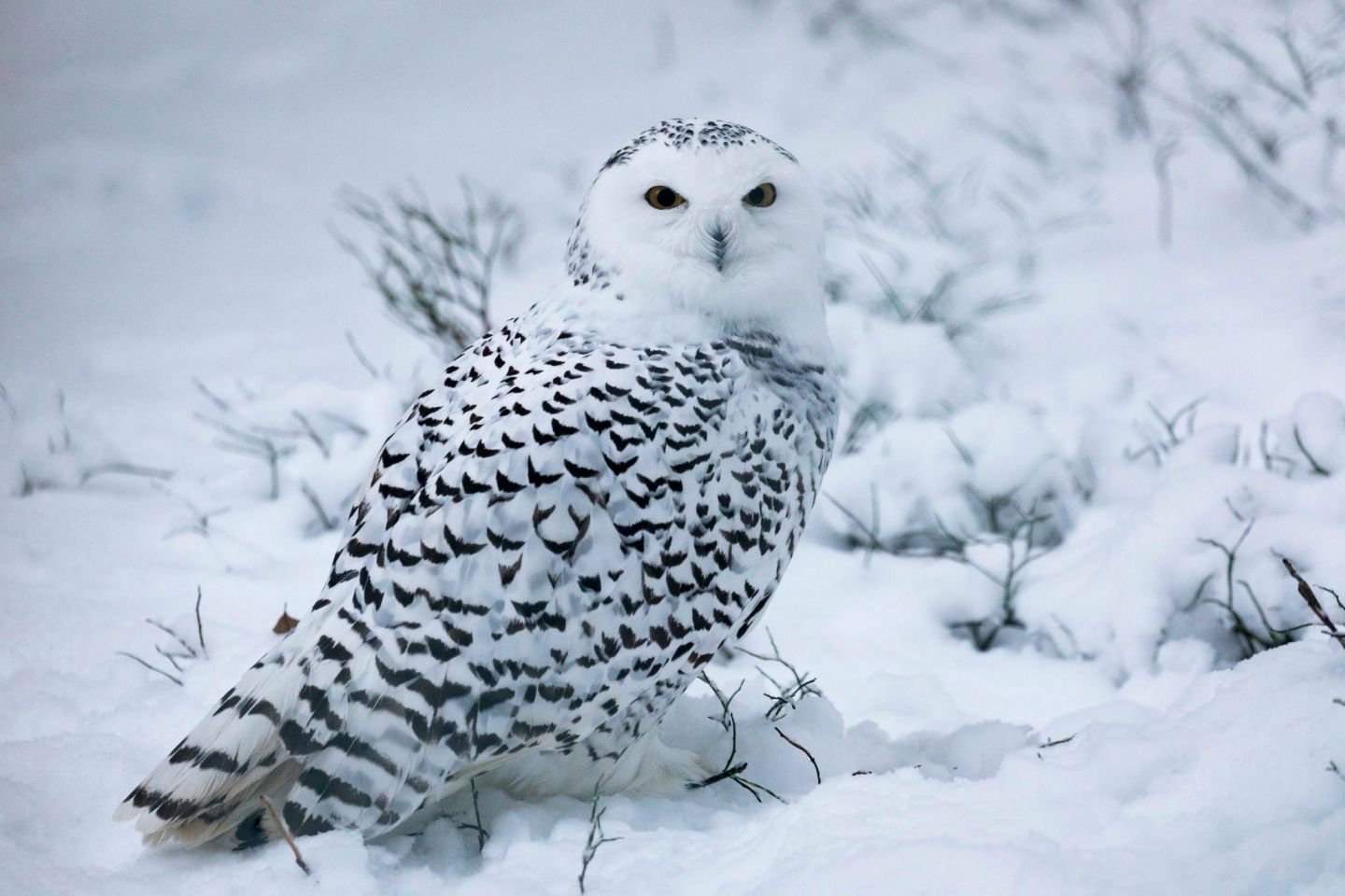 Snowy owls, part of the Arctic wildlife you'll find in Finnish Lapland