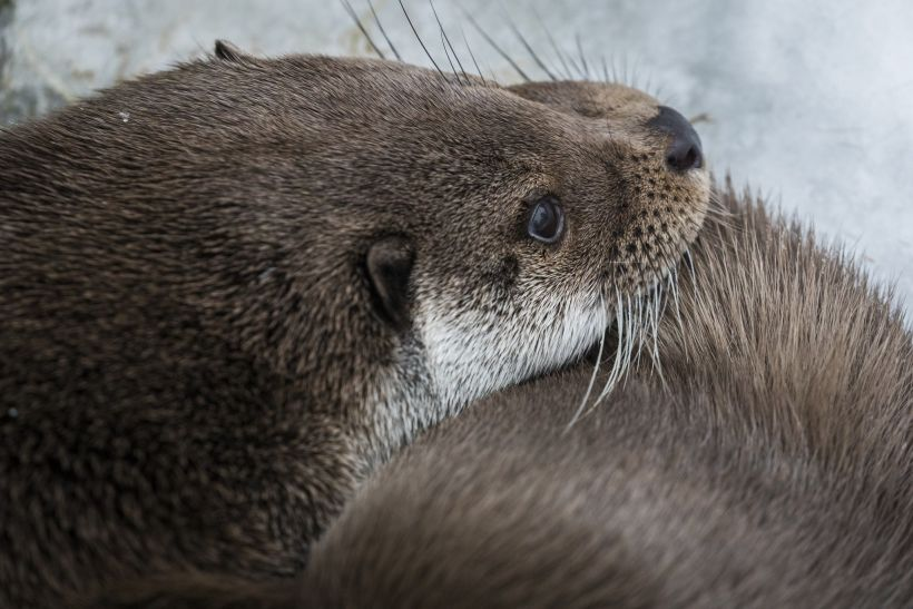 Otters, part of the Arctic wildlife you'll find in Finnish Lapland
