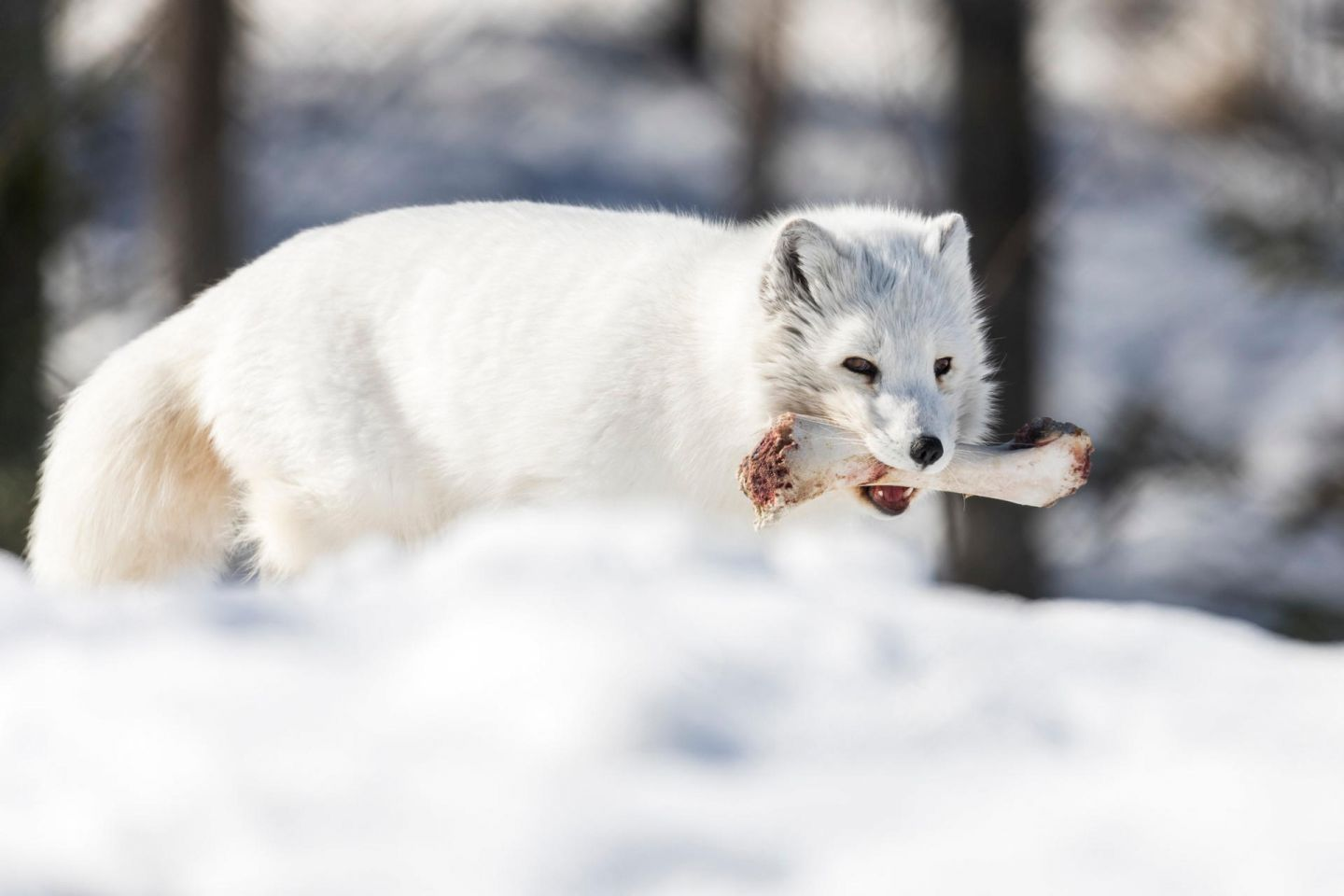 Arctic foxes, part of the Arctic wildlife you'll find in Finnish Lapland