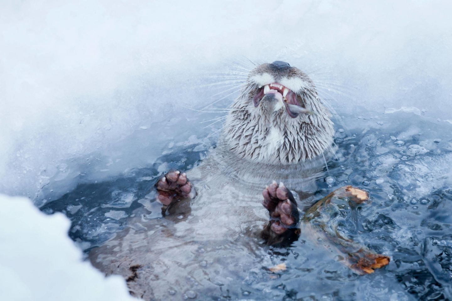 Happy otters, part of the Arctic wildlife you'll find in Finnish Lapland