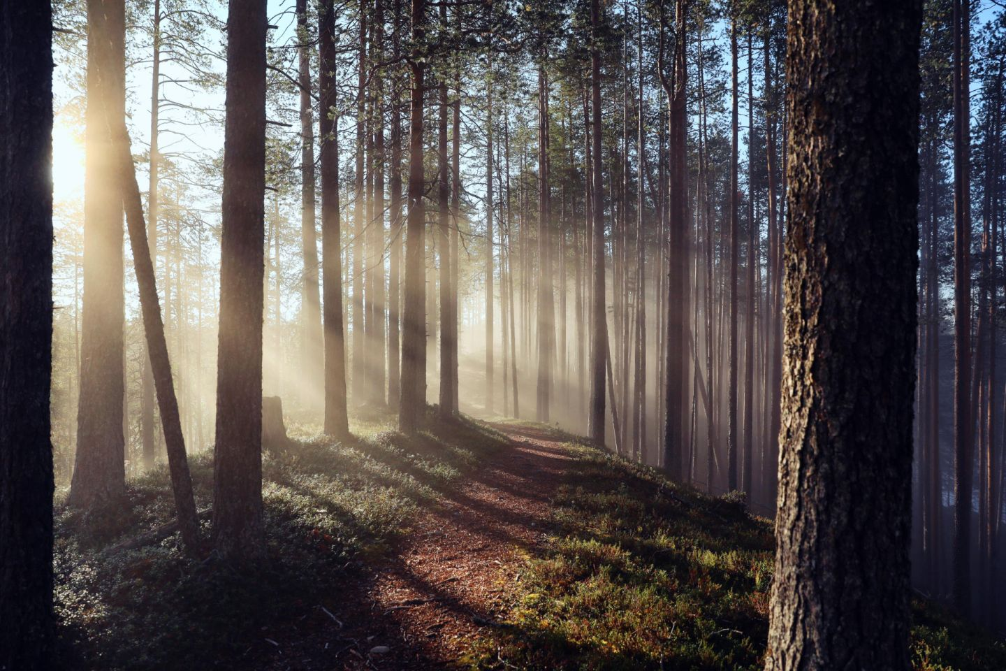 Beams of sunlight in the forests of Lapland, Europe's last wilderness
