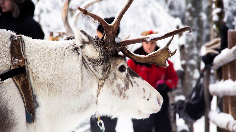 Poro Napapiirin porofarmilla Rovaniemellä Lapissa