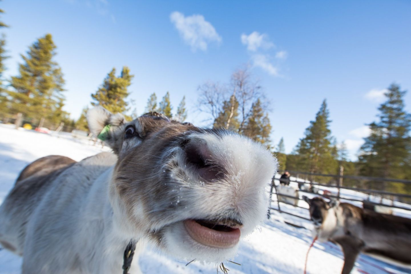 A reindeer close-up from Inari, Finland