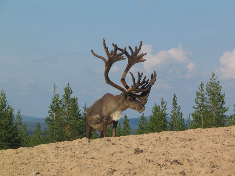 Reindeer enjoying the sandy beach in Finnish Lapland