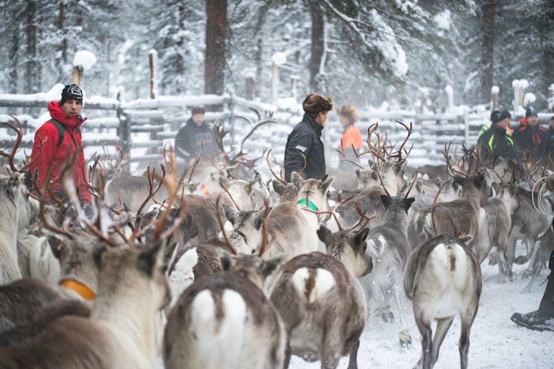 Herding reindeer in Savukoski, Finland