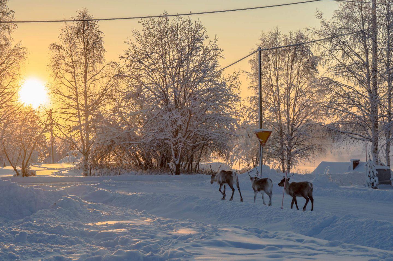 Reindeer in downtown Savukoski, Finland