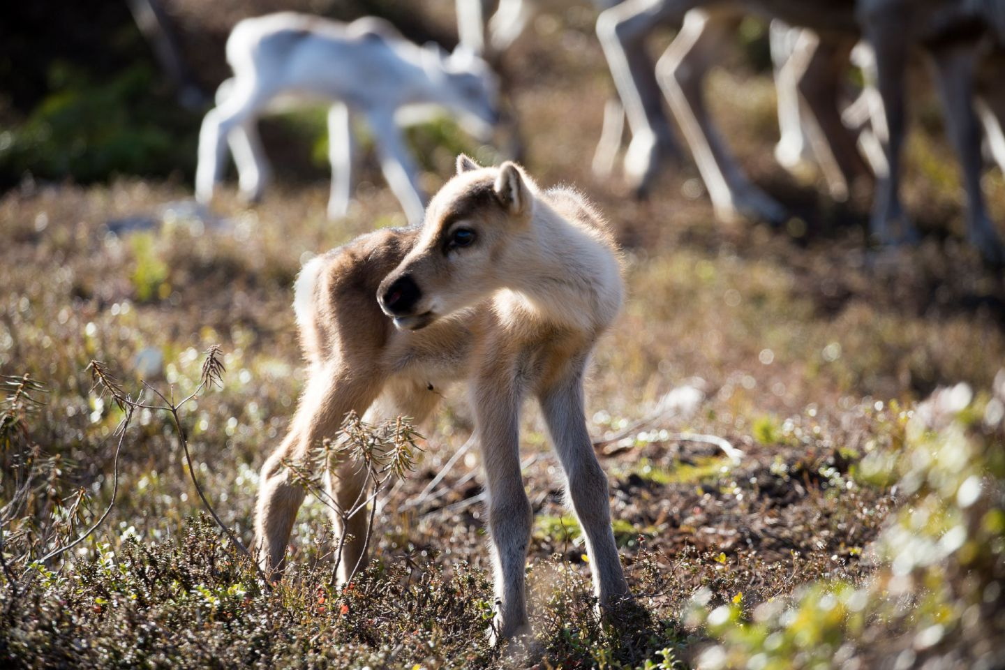 A baby reindeer from Finnish Lapland