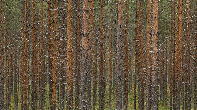 Mäntyjä rivissä metsässä kesäaikaan.